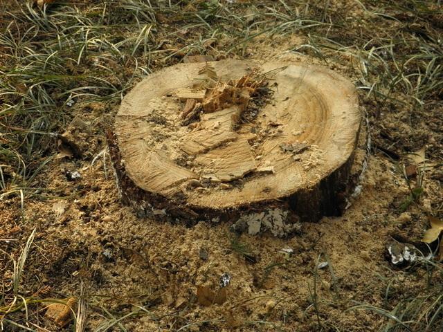 Stump Grinding - Tree Surgeon in Wimbledon